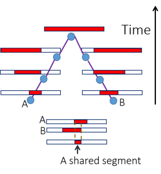 An illustration of the sample history leading to sharing of a genomic segment. The ancestral chromosome (red) is broken by recombination at each generation. However, if the common ancestor of A and B lived recently, the shared segment will remain long.